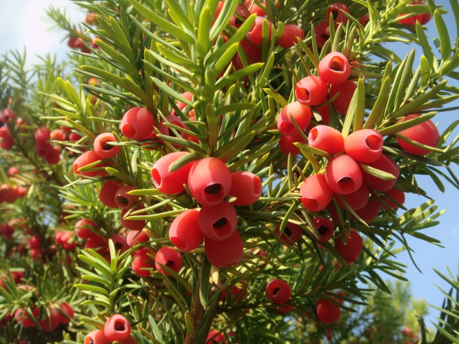 Taxus_baccata)