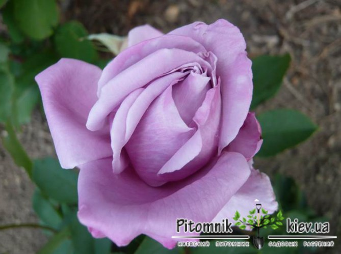 watermark/romantic-roses-waltz-time_Nen_1365
