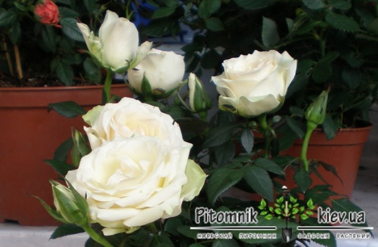watermark/rose-inside-top